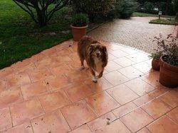 Elga, chien Berger australien