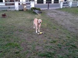 Eli, chien Labrador Retriever