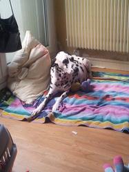 Elia, chien Dalmatien