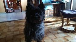 Elie, chien Cairn Terrier