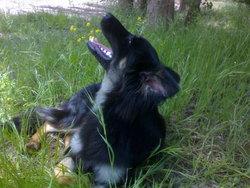 Elie, chien Berger allemand