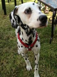 Elie, chien Dalmatien