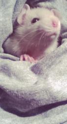 Elies, rongeur Rat