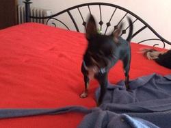 Éliiote , chien Yorkshire Terrier