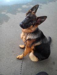 Elijah, chien Berger allemand