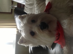 Eline, chien West Highland White Terrier