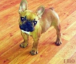 Elio, chien Bouledogue français