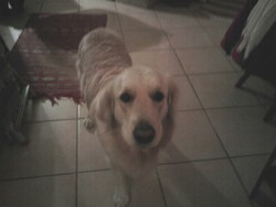 Elio, chien Golden Retriever