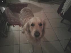 Elio, chien Golden Retriever