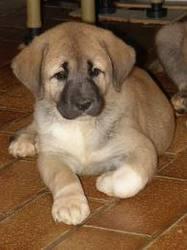 Elio Qui A Etait Adopter , chien Berger d'Anatolie