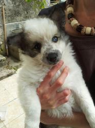 Elios, chien Spitz allemand