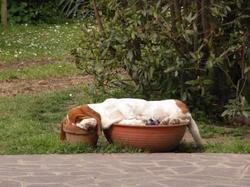 Eliot, chien Basset Hound