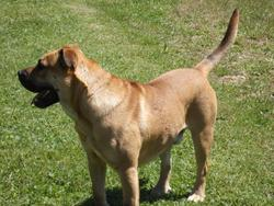 Eliot, chien Dogue de Majorque
