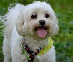 Eliot, chien Bichon maltais