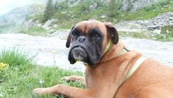 Eliot, chien Boxer