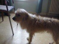 Eliot, chien Berger des Pyrénées