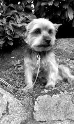 Eliot, chien Yorkshire Terrier