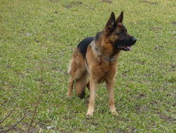 Eliot, chien Berger allemand