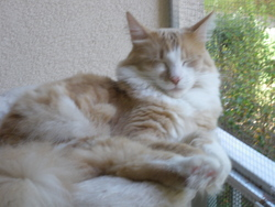 Eliot, chat Angora turc