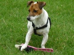 Eliot, chien Jack Russell Terrier