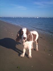 Eliot, chien Cocker anglais