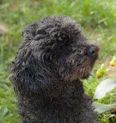 Eliot, chien Caniche
