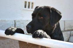 Eliot, chien Labrador Retriever