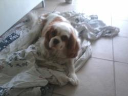 Eliot, chien Cavalier King Charles Spaniel