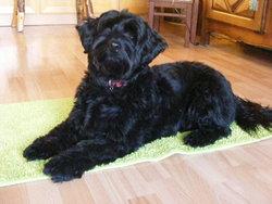 Eliot, chien Terrier tibétain