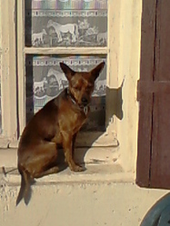 Eliot, chien Pinscher