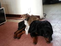 Eliot, chien Rottweiler