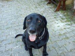 éliot, chien Labrador Retriever