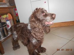 Eliot De La Toison D'Or, chien Cocker anglais