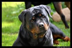 Eliot Aus Dem Lande Der Musketière, chien Rottweiler