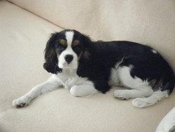 Eliote, chien Cavalier King Charles Spaniel