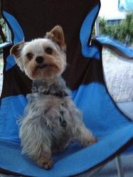 Eliote, chien Yorkshire Terrier