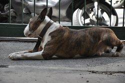 Eliote, chien Bull Terrier