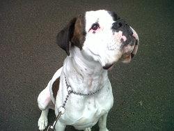 Eliote, chien Boxer