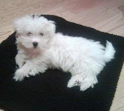 Elioth, chien Bichon maltais