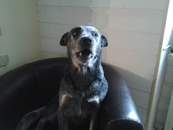 Elioth, chien Bouvier d'Australie
