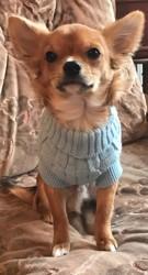 Eliott, chiot Chihuahua