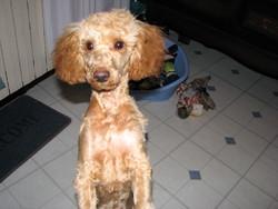 Eliott, chien Caniche