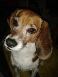 Eliott, chien Beagle