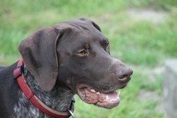 Eliott, chien Braque allemand à poil court