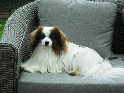 Eliott, chien Épagneul nain continental
