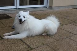 Eliott, chien Spitz japonais