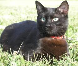 Eliott, chat Européen