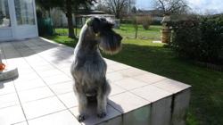 Eliott, chien Schnauzer