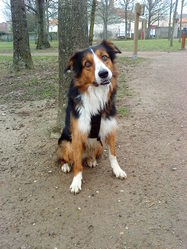 Eliouck, chien Border Collie