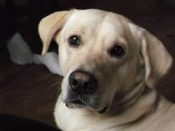 Elipse, chien Golden Retriever